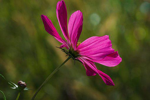 Flower, Cosmea, Cosmos, Close Up, Ornamental Plant