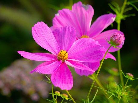 Flowers, Cosmea, Pink, Garden