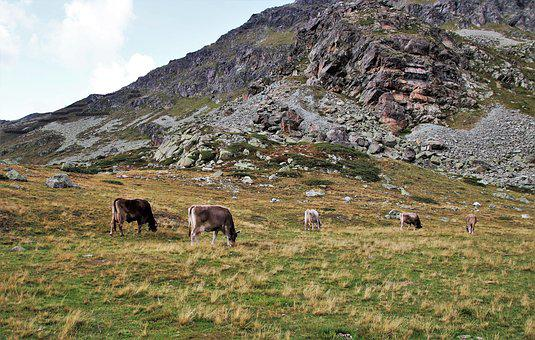 Cows, Grazing, Mountains, Meadow, Mood, Animals