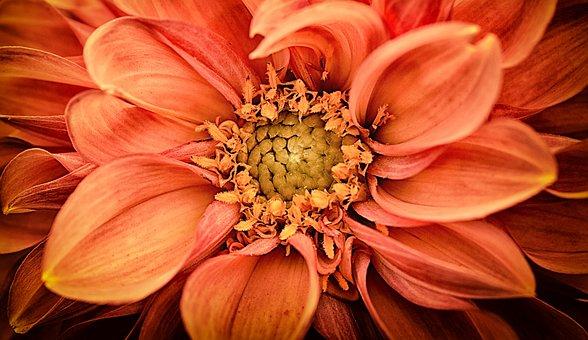 Dahlia, Dahlias, Asteraceae, Flower Garden