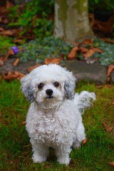 Dog, Bolonka, Pet, Cute, Purebred Dog, Optional, White