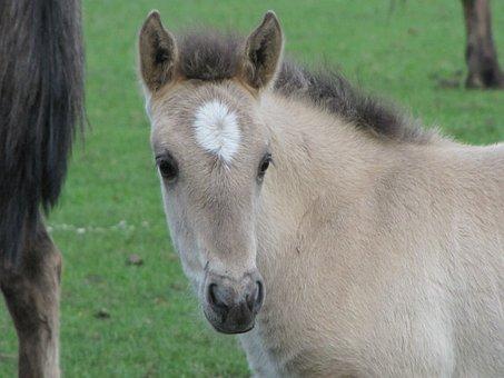 Foal, Wild Horse, Dülmen Germany, Horse, Animal, Nature