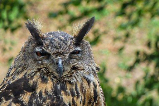 Owl, Eagle Owl, Bird, Bird Of Prey, Raptor