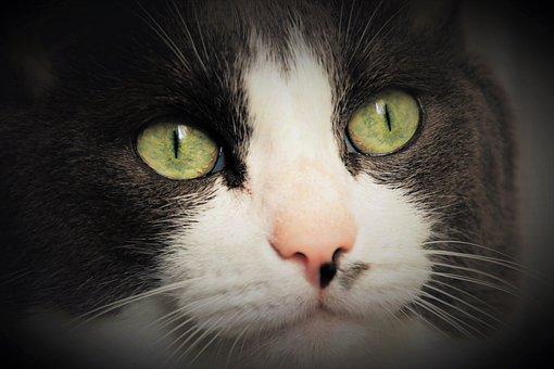 Eyes, Cat, Portrait, Animals, Head, Fluffy, Mustache