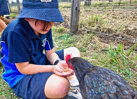Hen, Feeding, Child, Cute, Poultry, Farm, Feed