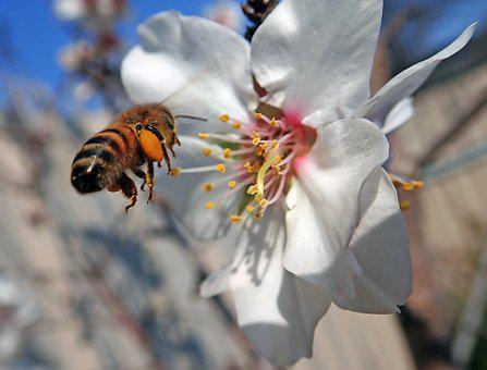Bee, Flying, Flower, Blossom, Pollen, Insect, Nature