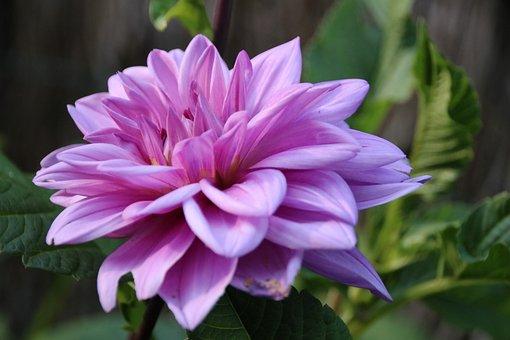 Chrysanthemum Purple, Flower, Nature, Chrysanthemum