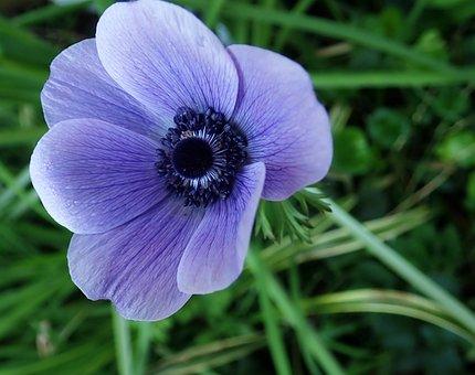 Anemone, Flower, Bulb, Garden, Nature, Spring