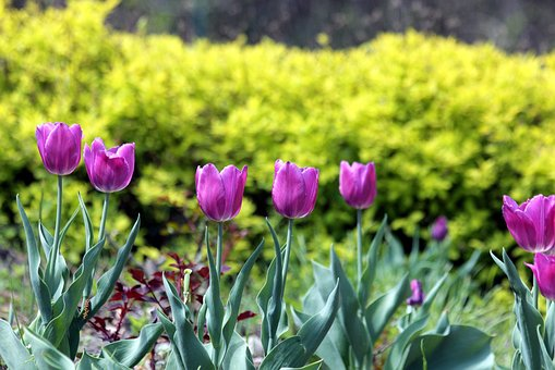 Tulips, Flowers, Spring, Nature, Bloom, Garden