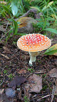Red, Fly Agaric, Agaric, Toxic, Forest, Mushrooms