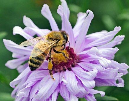 Bee, Honey Bee, Nectar, Pollen, Frühherbst, Aster