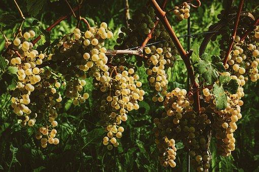 Grapes, Fruit, Vine, Winegrowing, Ripe, Sweet, Healthy