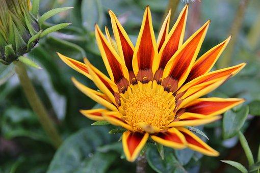 Flower, Gazania, Light, Nature, Yellow, Garden