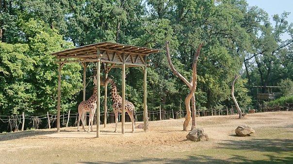 Giraffe, The Zoo, Garden, Animal, Safari, Africa