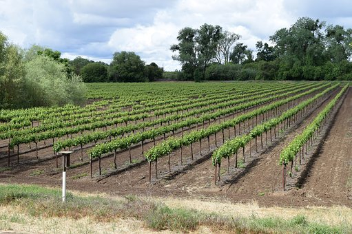 Vineyards, Grapevines, Grapes, Wine, Winery, Nature