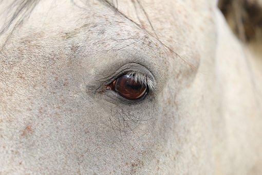Arabian Horse, Eye, Head, Nature, Outdoor