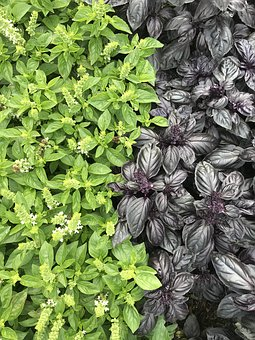 Basil, Herb, Healthy, Fresh, Ingredient, Green, Food