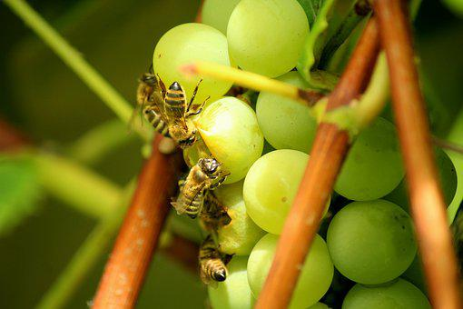 Grapes, Fruit, Bees, Insects, Healthy, Food, Sweet