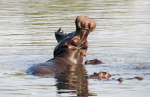 Hippopotamus, Nature, South Africa, Mammals, Fauna