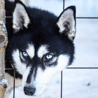 Husky, Siberian Husky, Dog, Winter, The Eyes, Snow