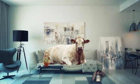Apartment, Living Room, Sofa, Liège, Couch, Cow, Weight