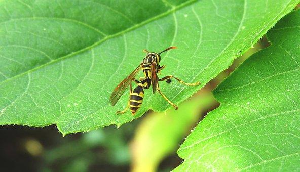 Macro, Insect, Wasp, Fauna, Guatica