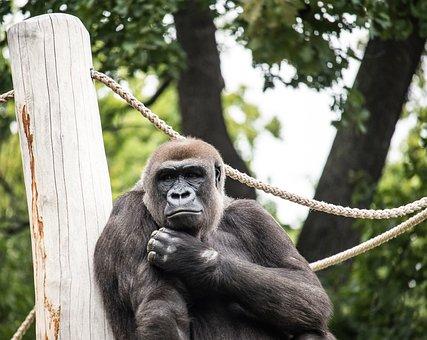 Gorilla, Monkey, Primate, Mammal, Animal, Animal World