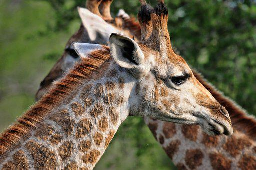 South Africa, Giraffe, Nature, Africa, Mammals, Fauna