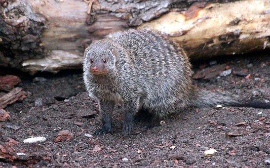 Mongoose, Mungo, Mungos Mungo, Mammals, Living Nature