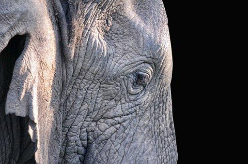 Elephant, Mammal, South Africa, Nature, Pachyderm