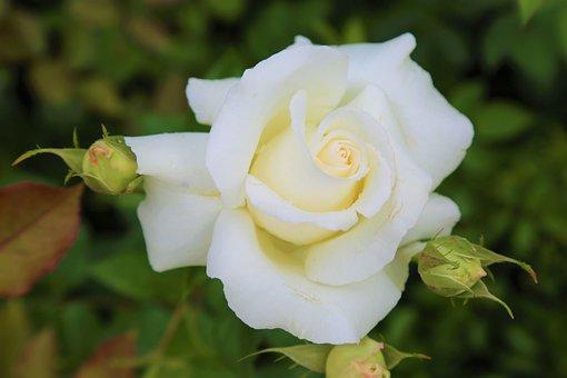 Rose, Beyazgul, Nature, Plant, Leaves, Flower, Tree