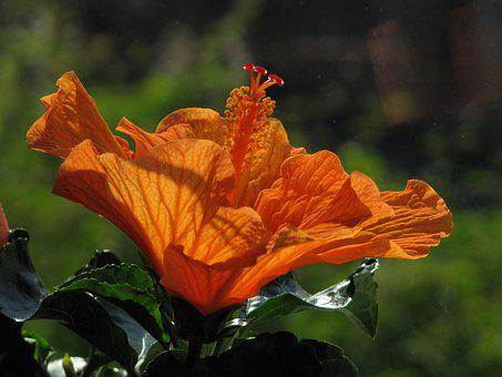 Hibiscus, Flower, Blossom, Bloom, Orange, Close Up