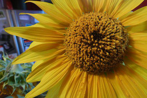 Sunflower, Yellow, Bloom, Petals, Kitchen, Fridge