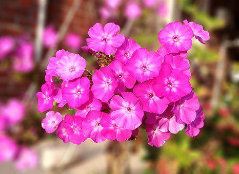 Phlox, After So, Flowers And Service, Pink, Sejong City