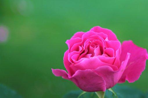 Rose, Gulpembe, Flower, Nature, Plant, Pink, Leaves