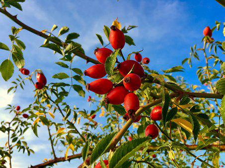 Rose Hip, Plant, Flora, Red, Nature, Late Summer