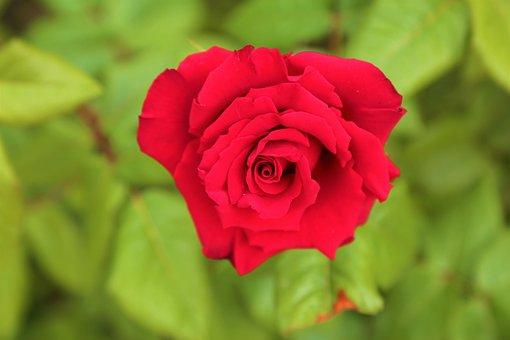 Rose, Greengrass, Nature, Plant, Spring, Leaves, Flower