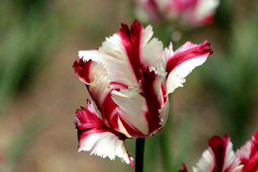 Tulip, Red, White, Flower, Spring, Beauty, Nature