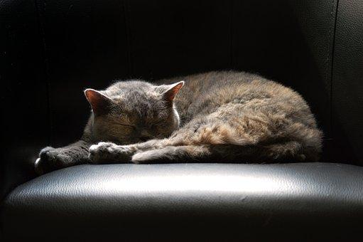 Cat, British Shorthair, Selkirk Rex, Lying, Sleeping