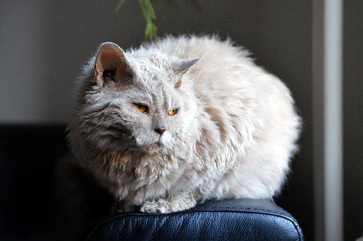 Cat, Sofa, Glow, Light, Selkirk Rex, Sheep Cat