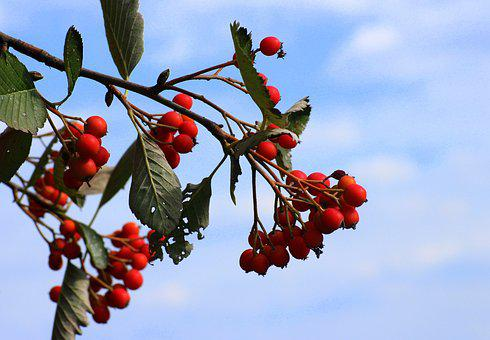Sorbus Intermedia, Swedish Mountain Ash, Red Fruits