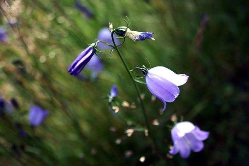 Bluebell, Flower, Blossom, Flora, Spring, Nature, Blue