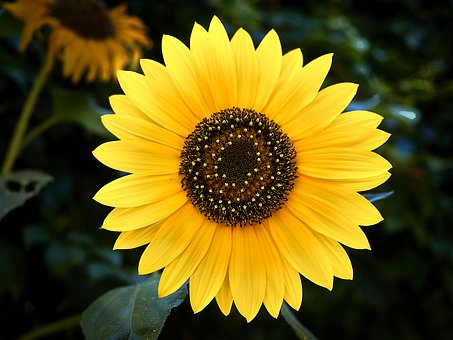 Flower, Sunflower, Yellow, Nature, Summer, Plants