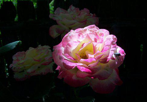 Light And Shadow, Three Colour Roses, Garden