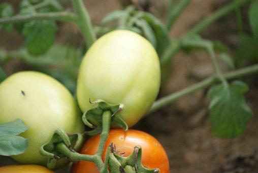 Tomatoes, Local Tomatoes, Unripe Tomatoes