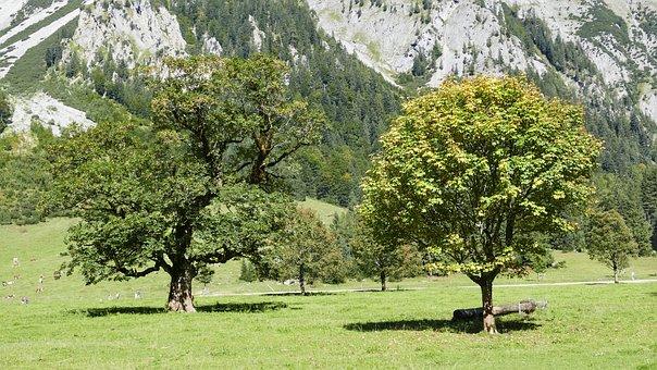 Tree, Ahornboden, Karwendel, Travel, Nature, Engalm