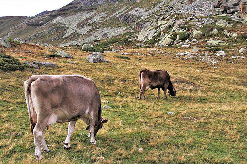 Cows, Two, Alpine, High, Julierpass, Mountains