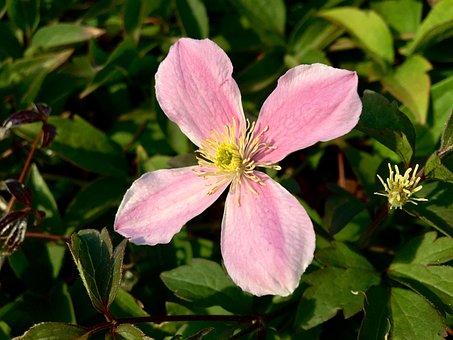 Flower, Clematis, Garden, Pink, Vierblättrig, Blossom