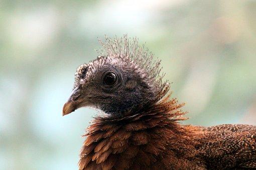 Pheasant, Female, Bird, Animal, Head, Feathers, View