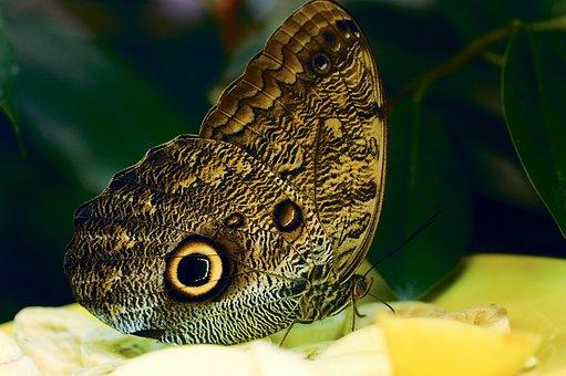 Butterfly, Big, Beautiful, Flying, Wing, Brown